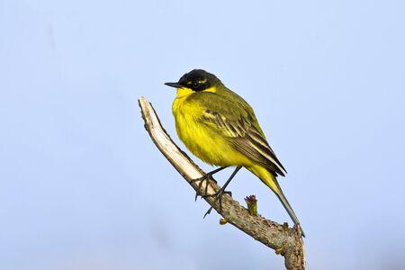 Yellow Wagtail Motacilla flava
