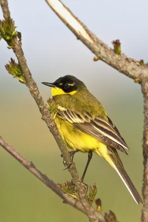 winder: Yellow Wagtail Motacilla flava