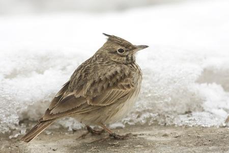 crested lark ( Galerida cristata) on snow in a winter scene