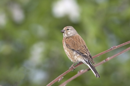 linnet male (Carduelis cannabina) sitting on a branch