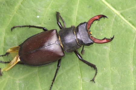 stag beetle male  on a green leaf Stock Photo
