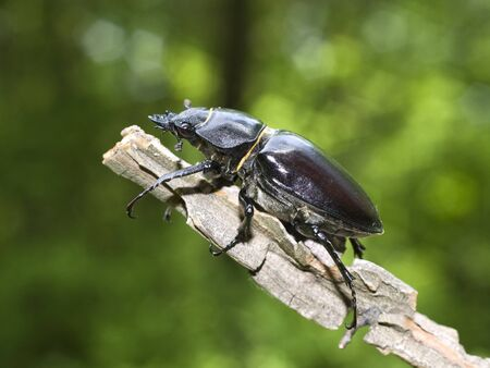stag beetle female isolated