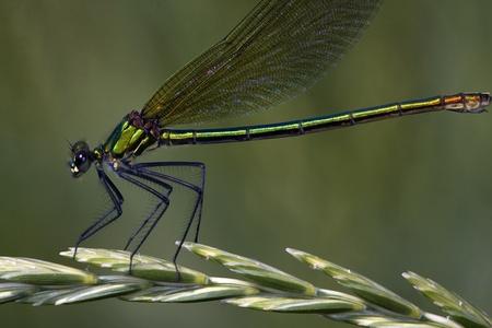 Calopteryx splendens  banded damselfly, female