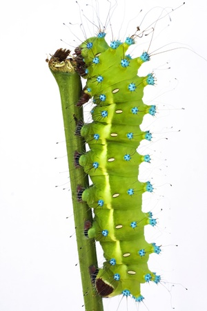 great peacock moth caterpillar isolated on white  Stock Photo