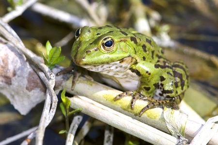 Marsh frog (Rana Ridibunda) on the reed