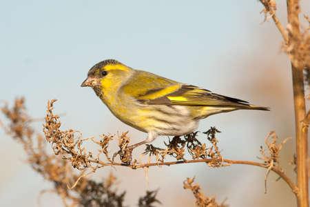 Male Siskin in full autumn courtship plumage