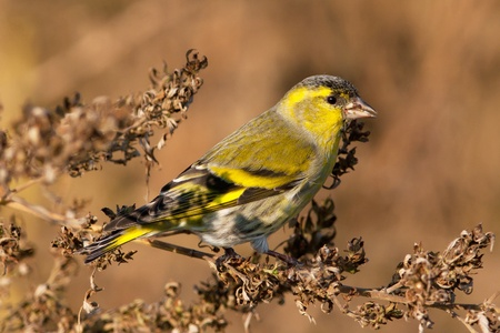 plumage: Male Siskin in full autumn courtship plumage
