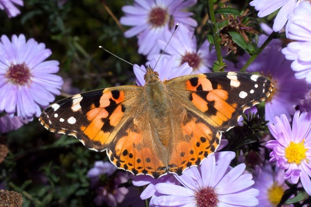 vanessa: Painted Lady butterfly resting on violet flowers   Vanessa cardui