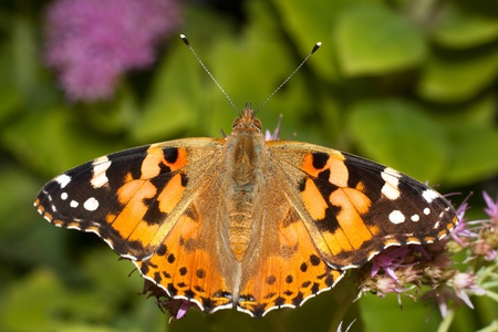 Painted Lady butterfly resting on violet flowers   Vanessa cardui