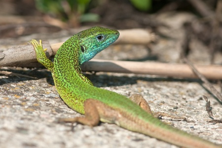 lacerta: male of green lizard (Lacerta viridis)