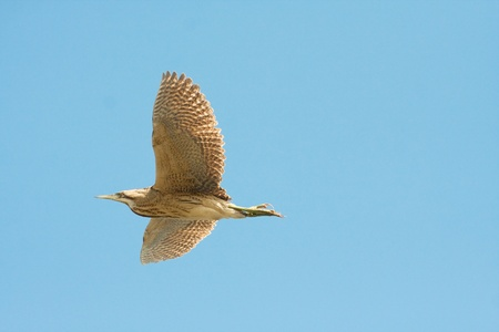 bittern in flight (Botaurus stellaris)  Stock Photo