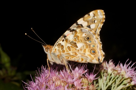 Painted Lady butterfly   Vanessa cardui