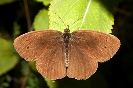 ringlet butterfly  Aphanthopus hyperanthus