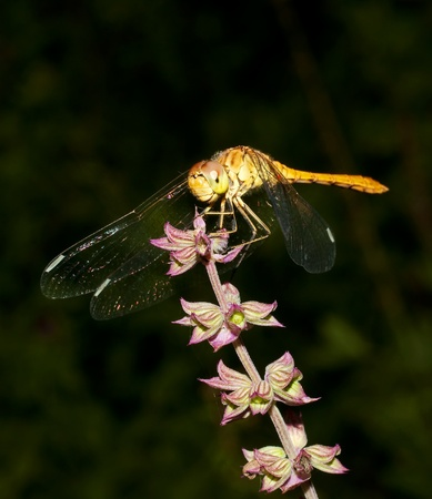 Southern darter dragonfly (Sympetrum meridionale)  Stock Photo
