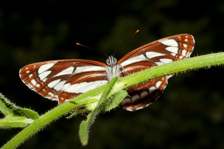 common glider ( Neptis sappho ) on a leaf - ventral view