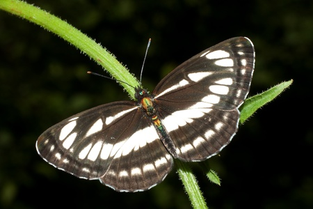 common glider ( Neptis sappho ) on a leaf - dorsal view Stock Photo