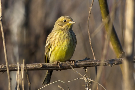 yellowhammer resting on a branch  Emberiza citrinella Stock Photo