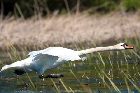 mute swan in a flying scene  Cygnus olor