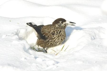 nutcracker (Nucifraga caryocatactes) in a winter scene  Stock Photo