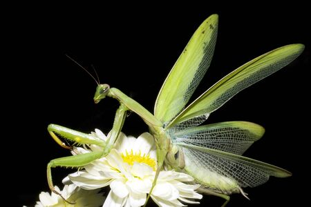 praying mantis on a white flower isolated on black