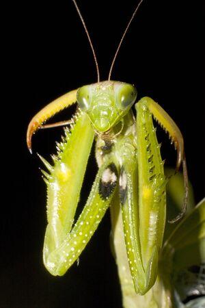 praying mantis portrait isolated on black  Stock Photo