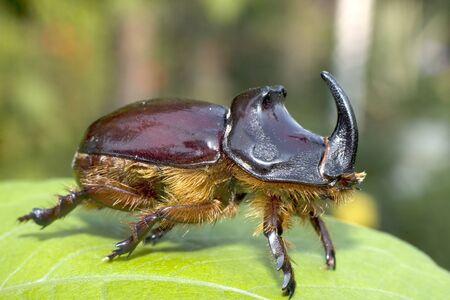 oryctes: Oryctes nasicornis