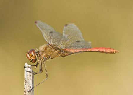 Southern darter dragonfly, male (Sympetrum meridionale)