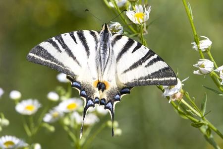 adult of Scarce Swallowtail (Iphiclides podalirius)  Stock Photo