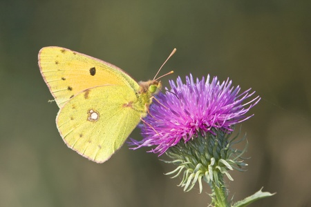 Pale Clouded yellow resting on a violet flower  Colias hyale
