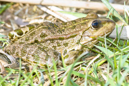 Marsh frog (Rana Ridibunda) on the grass  Stock Photo