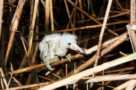 a chick of little egret on the nest ( Egretta garzetta )