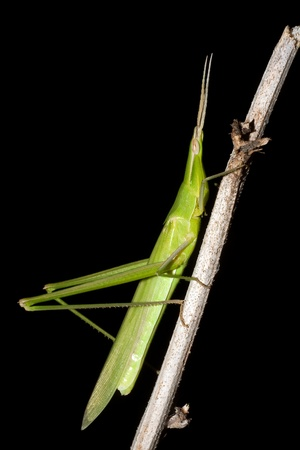 Mediterranean Slant-faced Grasshopper  Acrida ungarica  Stock Photo