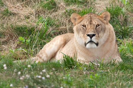 a lioness resting on the grass  Stock Photo