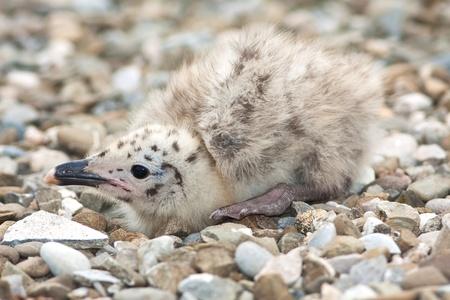 Yellow-legged Gull (Larus michahellis) chick on the rock