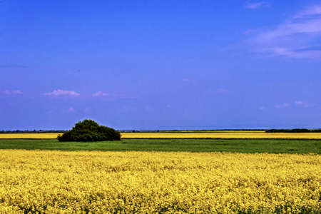 Lan rape and barley with blue sky background Stock Photo - 16252432