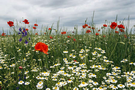 Field with flowers of chamomile and poppy, with a background of sky with clouds  Stock Photo