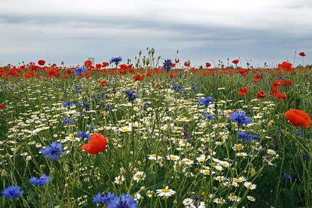 Bulutlar gökyüzü bir arka plan ile papatya ve gelincik çiçekleri ile alanında, Stock Photo