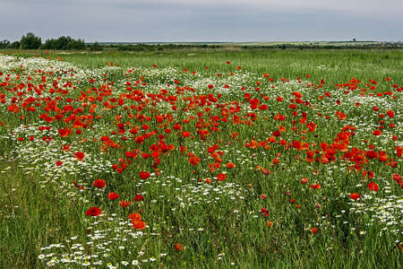 Field with flowers of chamomile and poppy, with a background of sky with clouds  Фото со стока