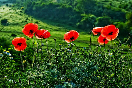 Landscape with poppies and chamomile flowers on a background of forest  photo