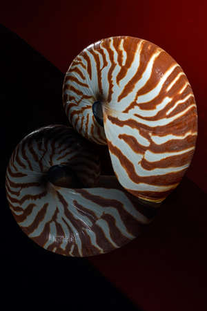 logarithmic: nautilus shell isolated on red and black background