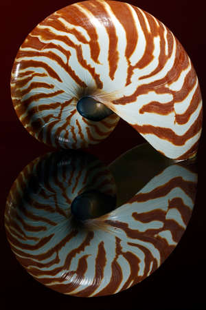 logarithmic: Nautilus shell isolated on red and black  Stock Photo