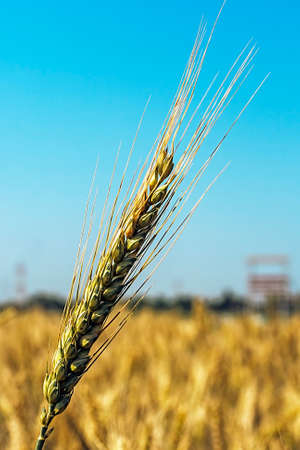 fertile land: Background with wheat ears on a background of blue sky  Stock Photo