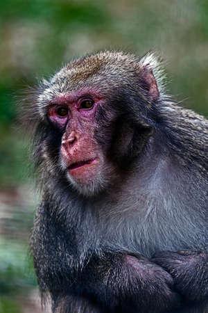 melancholijny: Closeup portrait of monkey with melancholic expression.