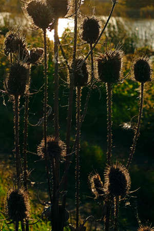 backlight: Rough Pasteles with thistles in backlight, at sunset.