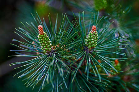 Budding pine cone isolated on a blurred green background of nature. photo