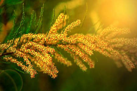 light chains: Chains fern flower in sunset light and isolated on a blurred green background of nature.