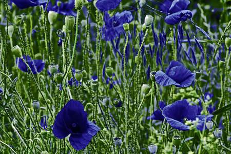 Background with blue poppy flowers on a green field stock photo background with blue poppy flowers on a green field stock photo 40619937 mightylinksfo