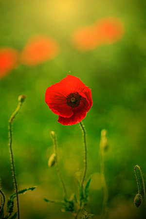 poppy flowers: Red Poppy flowers on a green background in sunset light. Stock Photo