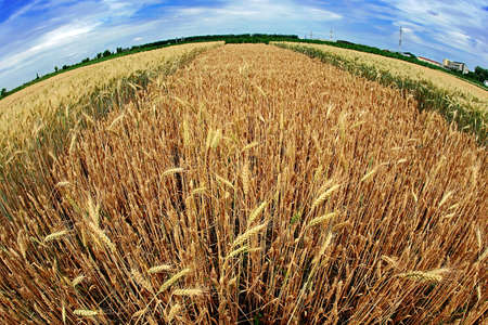 vicinity: Our planet with different varieties of wheat grown in the vicinity. Fisheye view.