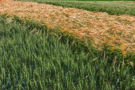 vicinity: Different varieties of wheat grown in the vicinity.